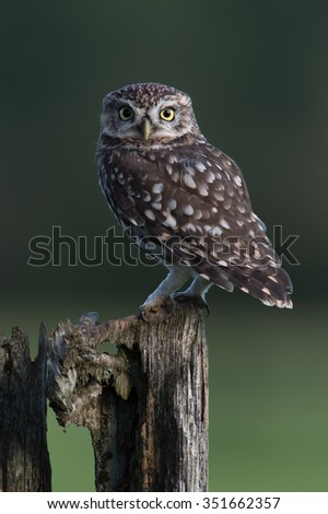 Little Owl perched on stump against a dark forest background/Little Owl/Little Owl (Athene Noctua)  - stock photo