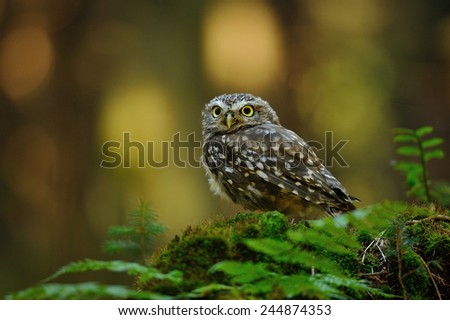 Little owl standing on moss tree stump in the forest - stock photo