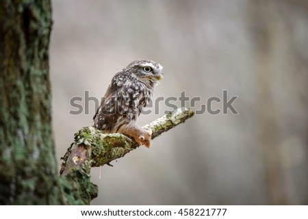 Little owl with mouse pray on tree branch next to tree trunk - stock photo