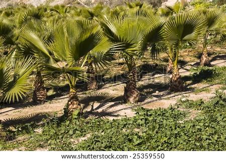 little palm trees - stock photo
