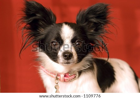 Little Papillon Dog with big Ears - stock photo
