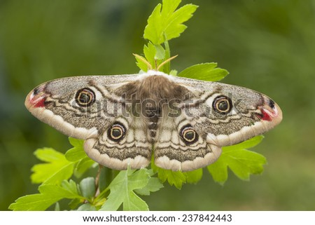 Little Peacock night (Saturnia pavonia) perched on branch - stock photo