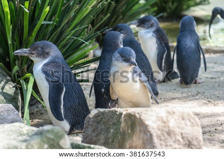 Little penguins, the small species of penguin with the height at 40-45cm - stock photo