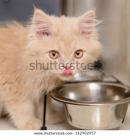 little Persian kitten eating food from a bowl - stock photo
