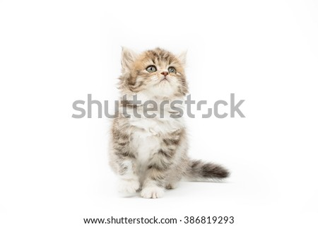 Little Persian tabby kitten looking up on isolated background - stock photo