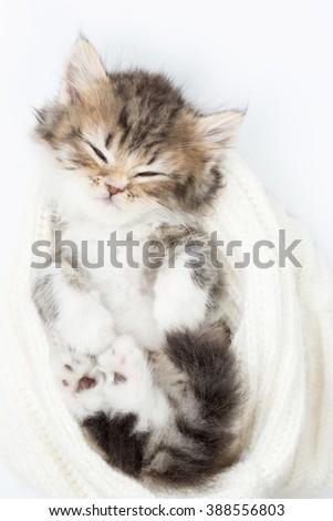 Little Persian tabby kitten sleeping on wool hat - stock photo
