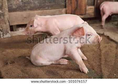 little pig - stock photo