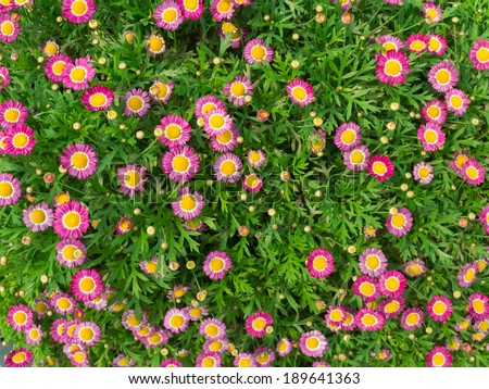 Little pink daisy vibrant color - stock photo