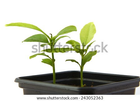 Little plants of citrus growing in a black pot isolated on white background - stock photo