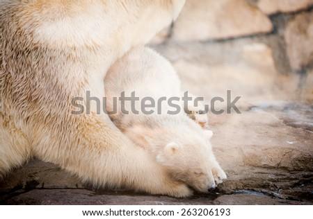 Little polar bear cub having a rest - stock photo