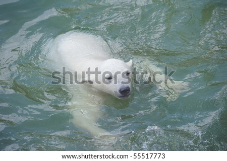 Little polar bear swimming in water - stock photo