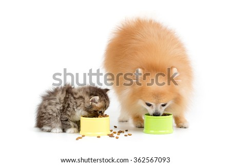 Little Pomeranian dog and Persian cat eating food together on isolated - stock photo