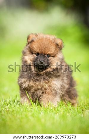 Little pomeranian spitz puppy - stock photo