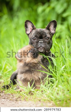 Little pomeranian spitz puppy kissing french bulldog - stock photo