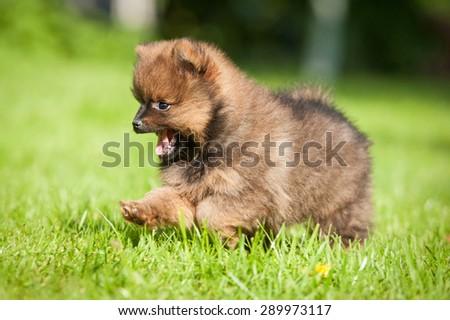 Little pomeranian spitz puppy running outdoors - stock photo
