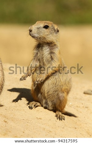Little prairie dog standing upright - stock photo