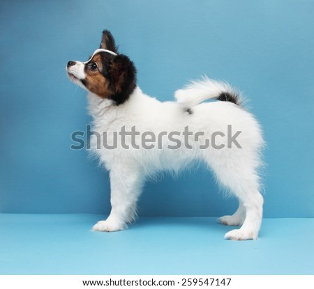 Little puppy dog breed papillon standing on a blue background - stock photo