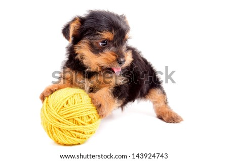 little puppy dog isolated in white - stock photo