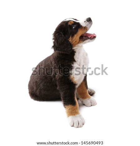 little puppy of bernese mountain dog on white background - stock photo
