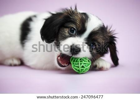 Little Puppy Papillon biting teeth green ball - stock photo