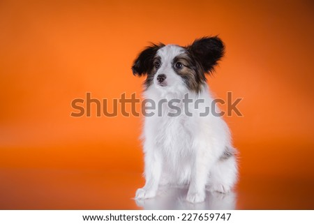 little puppy papillon on a colored background, accessories - stock photo