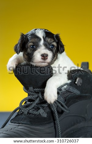 Little Puppy Papillon sitting in shoe on a yellow background - stock photo
