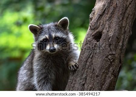 Little Raccoon on tree - stock photo