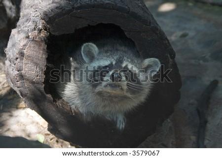 Little racoon - stock photo
