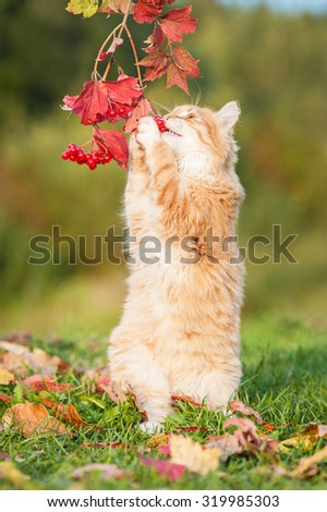 Little red cat playing with berries in autumn - stock photo