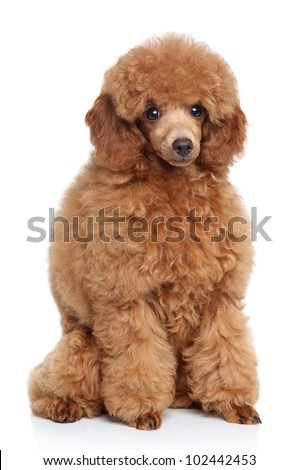 Little red toy poodle sits on a white background - stock photo
