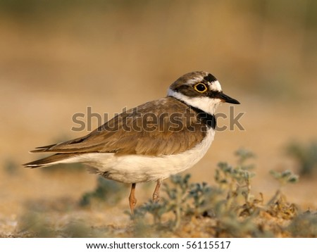 Little ringed plover, among sand dunes with plants - stock photo