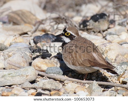 Little Ringed Plover, Charadrius dubius - stock photo
