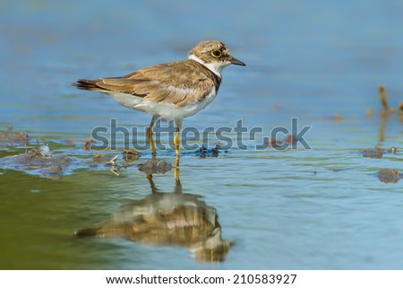 Little Ringed Plover (Charadrius dubius) in nature of Thailand - stock photo