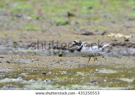 Little ringed plover in a pond - stock photo
