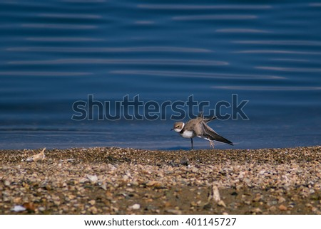 Little ringed plover in winter plumage stretching its wing - stock photo