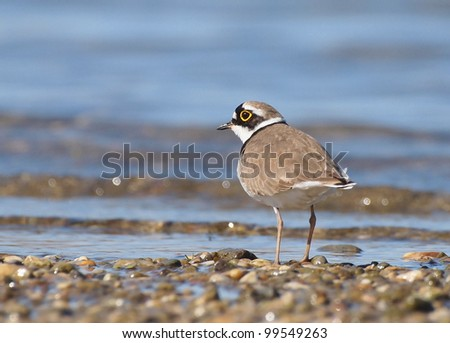 Little Ringed Plover on river, Charadrius dubius - stock photo