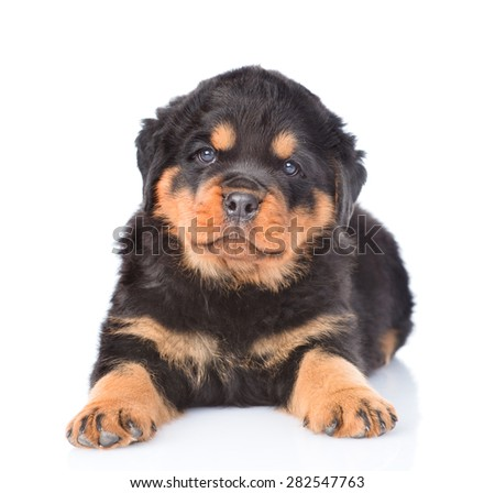 Little rottweiler puppy lying in front view. Isolated on white background - stock photo
