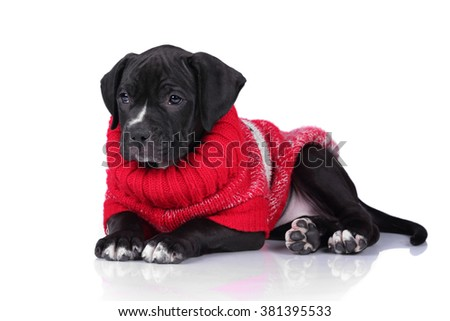 Little sad puppy in red sweater on a white background - stock photo