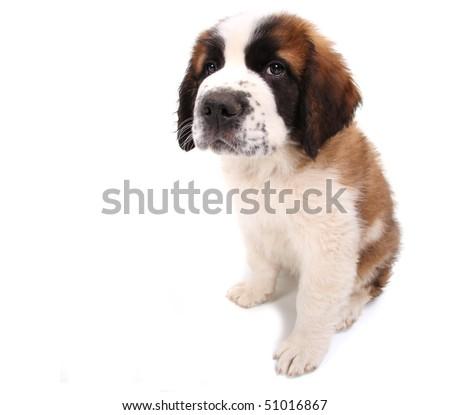 Little Saint Bernard Puppy Looking Sad and Wobegone on White Background - stock photo