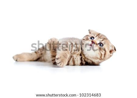 little Scottish fold kitten lying on floor - stock photo