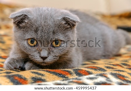 Little scottish kitten meowing. Gray kitten Scottish fold - stock photo