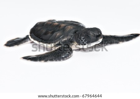 Little sea turtle - stock photo
