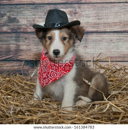 Little Sheltie puppy dressed up in a cowboy outfit in a barn scene. - stock photo