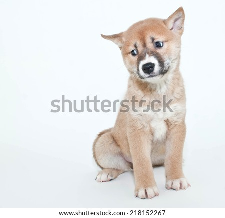 Little Shiba Inu puppy looking very confused about something on a white background. - stock photo