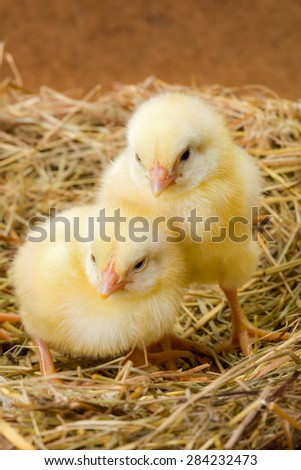 Little sleepy newborn yellow chickens in nest - stock photo