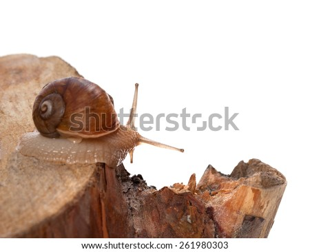 Little snail on pine-tree stump. Isolated on white background. Selective focus. - stock photo