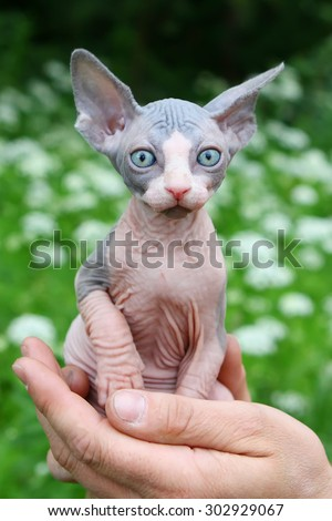 Little sphinx cat siltting in man's palm - stock photo