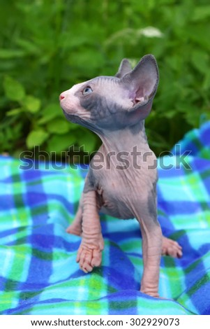 Little sphinx cat sitting on plaid in grass - stock photo