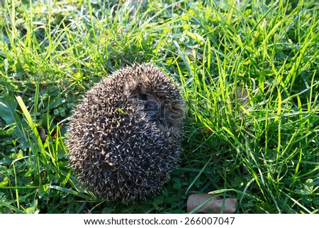 Little spiny hedgehog on a green grass - stock photo