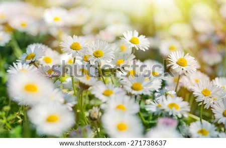 Little spring daisy flowers in meadow  - stock photo